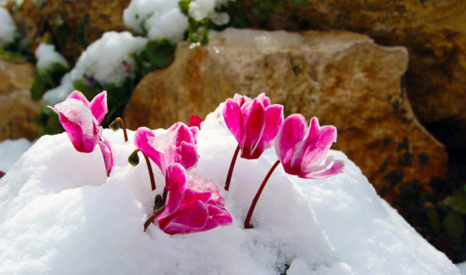 cyclamen in the snow